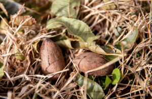 A pair of fallen pecans wait to be swept up by a harvesting tractor. After they are picked up they go through a variety of machines before they are packed and ready for delivery.