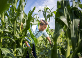 Sen. Ben Sasse uses a machete to chop weeds in an organic popping corn field on Thursday, August 8, 2019, during a visit to the Hunnicutt farms near Giltner, Nebraska.