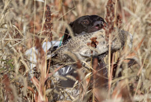 Juno retrieves a pheasant during a guided hunt Friday, Oct. 25, 2019, at Beede Outdoors in Unadilla, Nebraska.