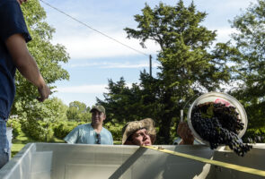 Brandon Kirby dumps grapes into a vat while harvesting at Kingdom of Callaway Vineyards in Fulton, Mo., on Saturday, Sept. 10, 2016. The grapes will be sold to Les Bourgeois, a local winery.