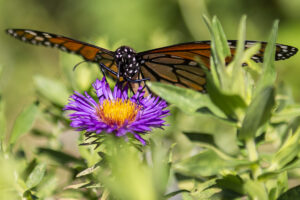 A butterfly visits visits a flower Wednesday, Aug. 14, 2019, at the Rotary Strolling Garden.